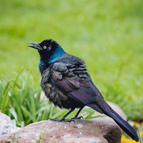 Common Grackle by Rick Shick - Animals Birds ( bird, nature, wildlife, birds )