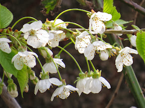 Photo: Middle Pool Tthe wild cherry [Prunus sp.] joins the Blackthorn with some Spring blossom. (Ed Wilson)