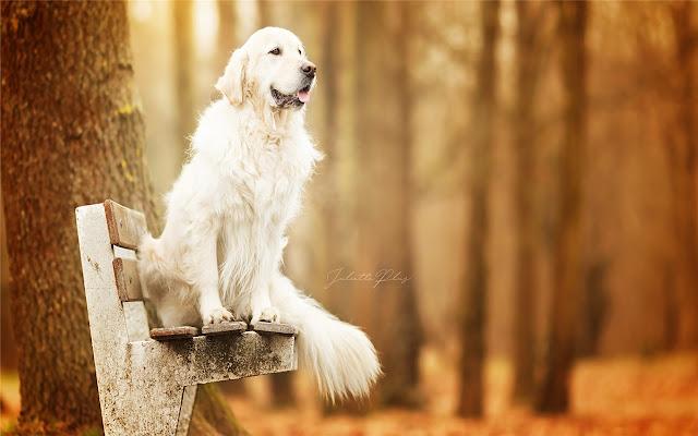 库瓦兹犬主题&新标签