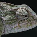 Camaleão Comum