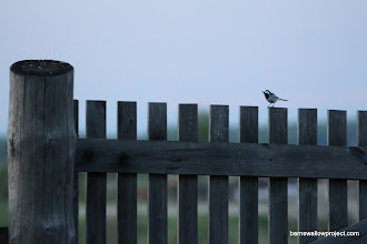 Photo: A wagtail (Motacilla alba) keeping me company in the early morning