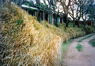 Photo: SA-BUL007  Labor quarters on a farm in South Africa stabilized with vetiver - After vetiver treatment