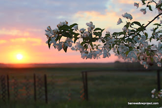 Photo: Apple blossoms at sunset at the research station in Karasuk