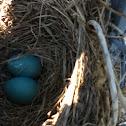 European Starling Eggs
