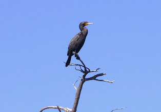 Photo: Double-crested cormorant.