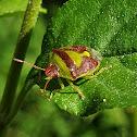 Green burgundy stink bug