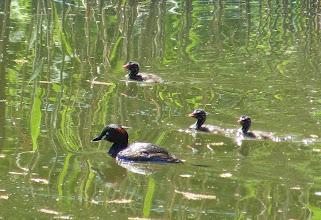 Photo: 撮影者:浜野建男 カイツブリ タイトル: 観察年月日:2014/5/4 羽数:5羽(親2羽+ヒナ3羽) 場所:つどいの森公園 区分:繁殖 メッシュ:八王子6G コメント:つどいの森公園の池で今年もカイツブリが子育てしている。3羽のヒナはすでに巣立ち、親のあとをいっしょに泳いでいる。