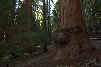 Photo: Giant Sequoia with burl