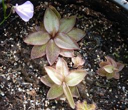 Photo: Pinguicula planifolia