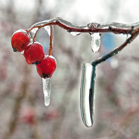 Frozen by Mikhail Romanovski - Nature Up Close Trees & Bushes