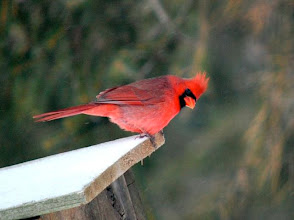 Photo: A cardinal at the poorly constructed feeder I made for my front yard!