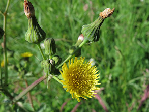 Photo: 30 Jun 13 Priorslee Lake: A Smooth sow-thistle or milk-thistle (Sonchus oleraceus) head: a very common weed. (Ed Wilson)