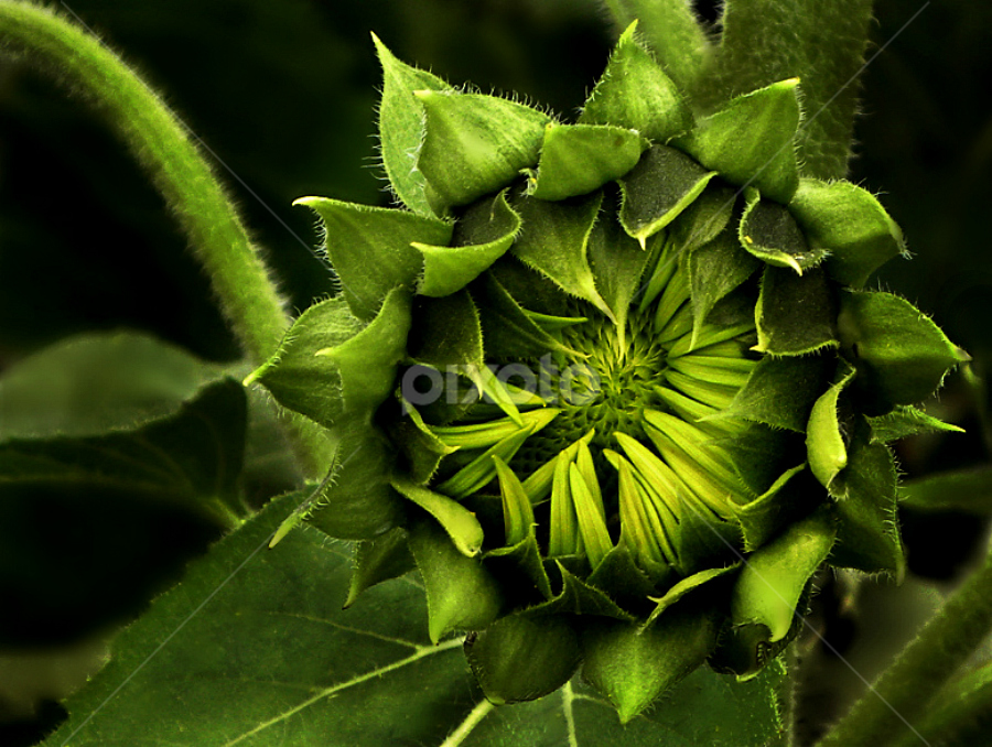Green by Becky Holmes - Nature Up Close Flowers - 2011-2013 ( nature, sunflowers, flowers )