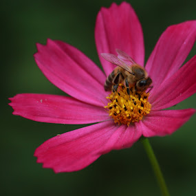 Buzzz like me by Aleksandar Zhivkov - Flowers Single Flower ( pink flower, bee, pink, bee on flower, flower,  )