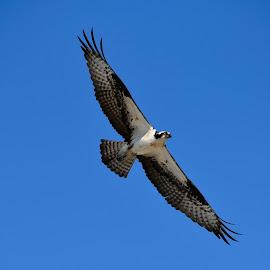 Osprey Hunting by Jim Zabroski - Animals Birds ( outer banks, osprey, birds )