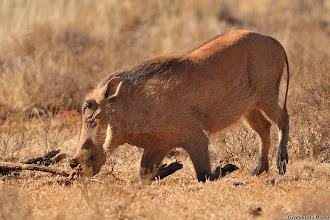 Photo: Warthog eating, Mokala National Park