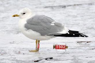 Photo: Gull ringed  adult 06/02/2010, ŚWINOUJŚCIE:PORT ,ZACHODNIOPOMORSKIE, POLAND 53°54'00, 14°15'00