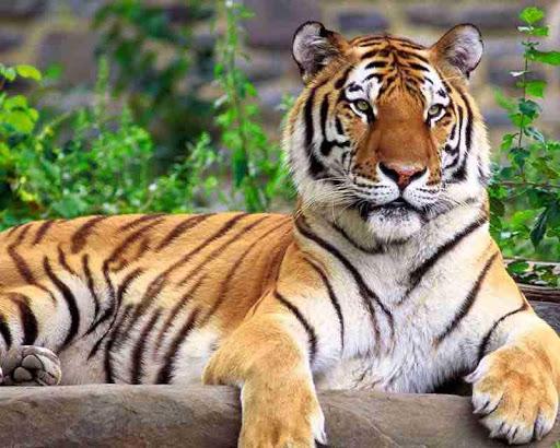 Tiger Wallpaper Hd Apk Download Apkpure Co