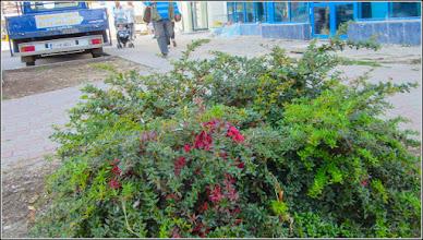 Photo: Berberis - frikartii telstar  - din Turda, de pe Calea Victoriei, spatiu verde, Mr.2 - 2018.10.17