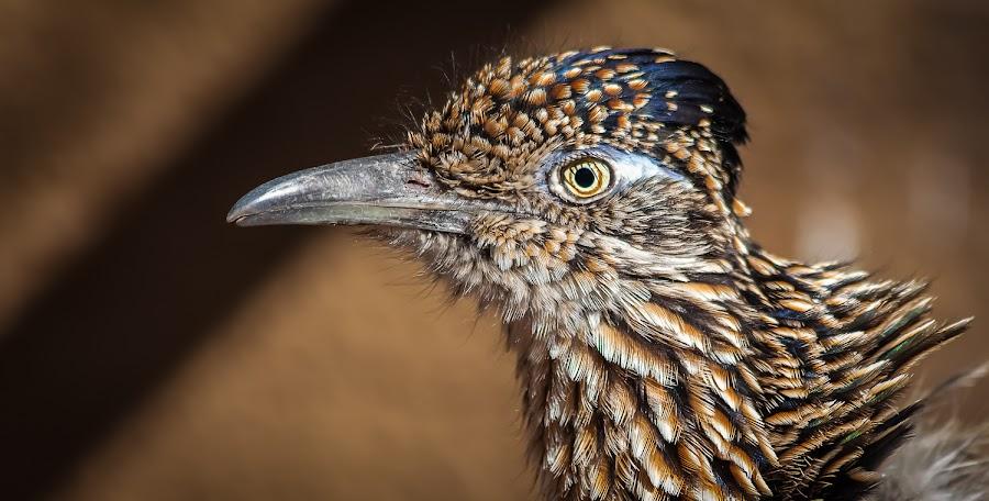 Roadrunner Portrait by Dave Lipchen - Animals Birds ( bird, roadrunner, close up, eye,  )