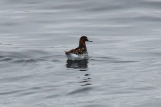 Photo: Red-necked Phalarope