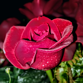 Red Rose by Vivek Sharma - Instagram & Mobile Android ( vivekclix, nature, red rose, rose, red flower, flower )