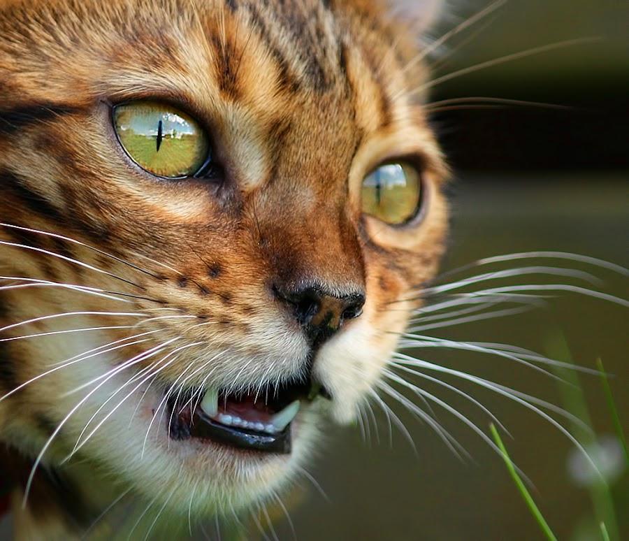 by Jane Bjerkli - Animals - Cats Portraits ( cat, bengal, pwc84,  )