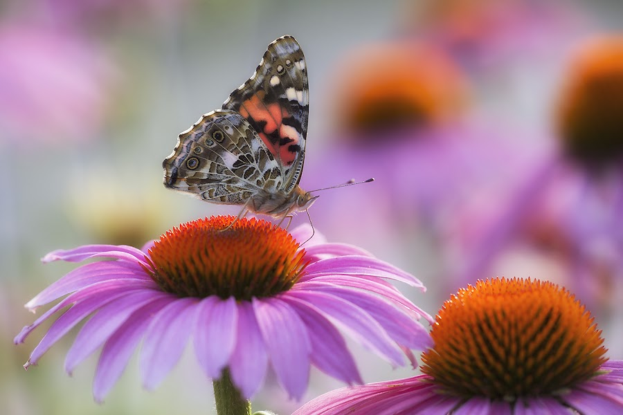 Painted Lady and the Cone Flower by Ken Smith - Animals Insects & Spiders ( painted lady, butterfly, cone flower )