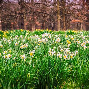 Daffodil Glade by Lynn Kirchhoff - Flowers Flower Gardens ( april, bulbs, daffodils, arboretum, flowers, garden, spring, blossoms,  )