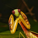 Formosan Giant Mantis