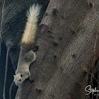Squirrel , Grey-bellied