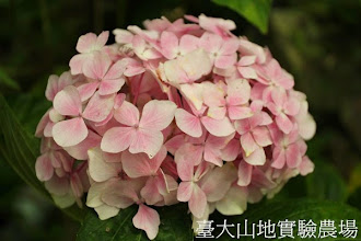 Photo: 拍攝地點: 梅峰-溫帶花卉區 拍攝植物: 繡球花 拍攝日期:2013_07_30_FY