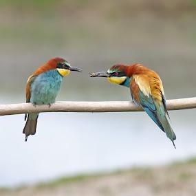 European Bee-eater by Simon Kovacic - Animals Birds ( bird, european bee-eater, aves, meropidae, merops apiaster,  )