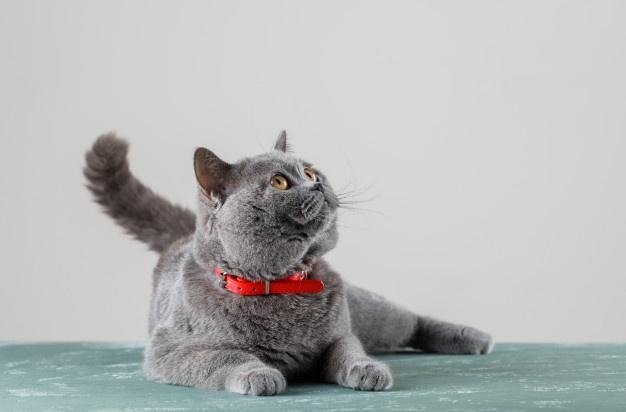 Antipulgas y los gatos