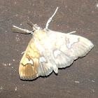Crambid borer moth(?)