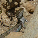 Maltese Wall Lizard
