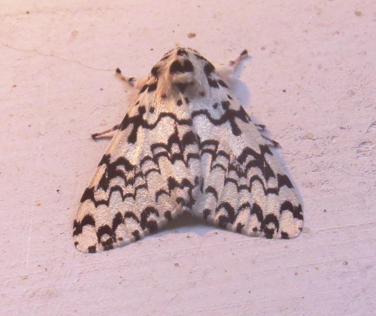 Concolor Gypsy Moth