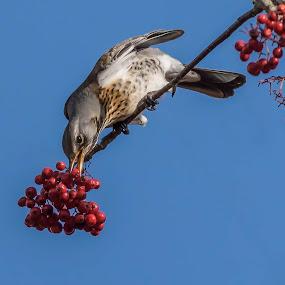 Fielfare by Barry Smith - Animals Birds ( nature, ornithology, birds, wild, wildlife,  )