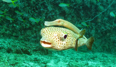 Photo: Длинношипая рыба-еж Diodon hystrix и китайский флейторыл Aulostomus chinensis