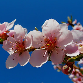 Gentle ... by Snezana Petrovic - Nature Up Close Flowers - 2011-2013 ( sky, gentle, on blue, peach, blossom )