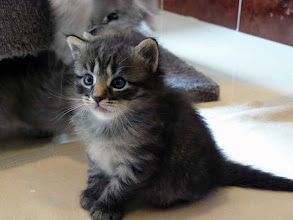 Photo: Roco (black tabby - 4 sem)