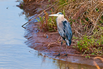 Photo: Great blue heron standing on the bank of a drainage ditch