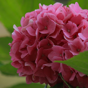 the pink hydrangea by Aleksandar Zhivkov - Flowers Single Flower ( green, pink, hydrangea, close up,  )