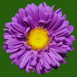 PURPLE by SANGEETA MENA  - Flowers Single Flower (  )