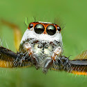 Two-striped Jumper male