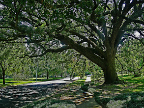 Photo: Under the tree This beautiful tree cast a huge shadow on a hot sunny day, near the Menil Collection in Houston.