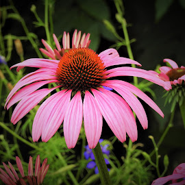 Pink coneflower by Mary Gallo - Flowers Flower Gardens ( coneflower, outdoor photography, nature up close, nature photography, pink coneflower )