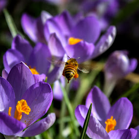 Bumbling Away by Shaun Groenesteyn - Novices Only Flowers & Plants ( bumble bee, nature, purple, bee, insects, flowers )