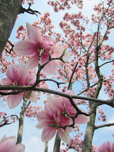 Photo: Pink tulip tree against a blue sky at Cox Arboretum and Gardens MetroPark in Dayton, Ohio.