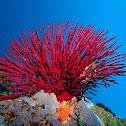 Seafan Coral